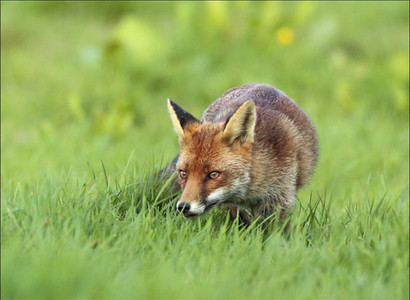 PDI -  Highly Commended - Vixen Hunting by Vivienne Beck