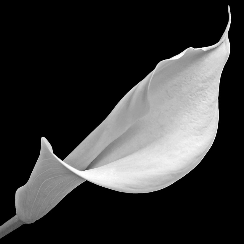 MONO - Canna Lily by Muriel Darling (11 marks)