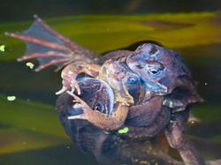 Mating Common Frogs