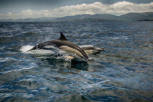 46 - IPF - Common Dolphin by Patrick Kavanagh ( 26 marks )