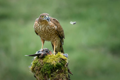 PDI -  Highly Commended - Sparrow Hawk With Prey by Valerie McKee