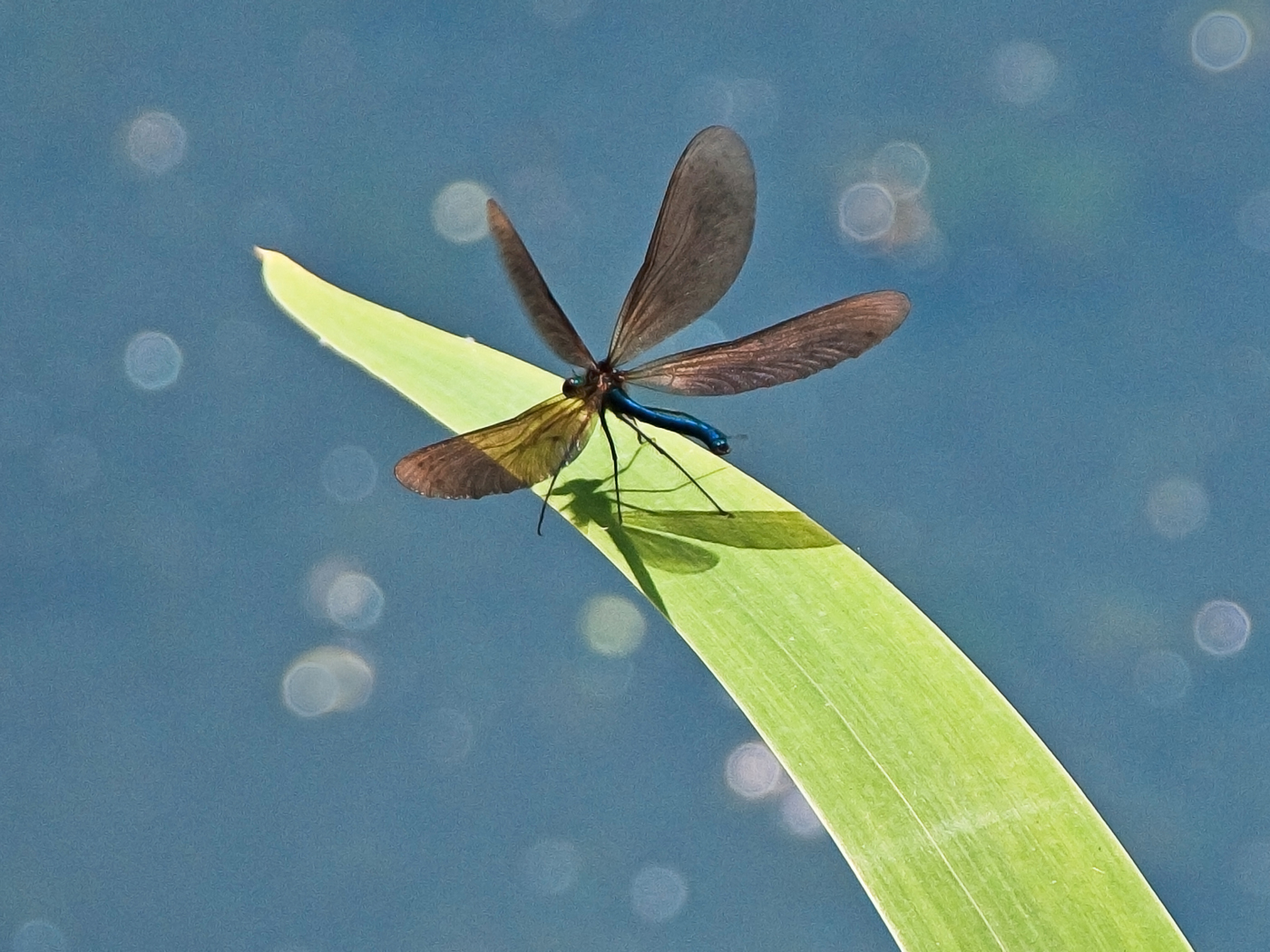 Black Winged Damsel