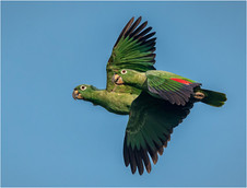 PDI -  Highly Commended - Mealy Parrots by Brendan Hinds