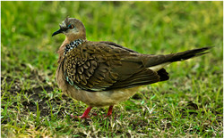010 Spotted Dove SE Asia.jpg