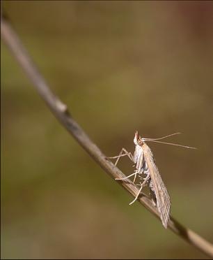 38 - NIPA - Chrysoteuchia culmella by Martin Spackman ( 26 marks )