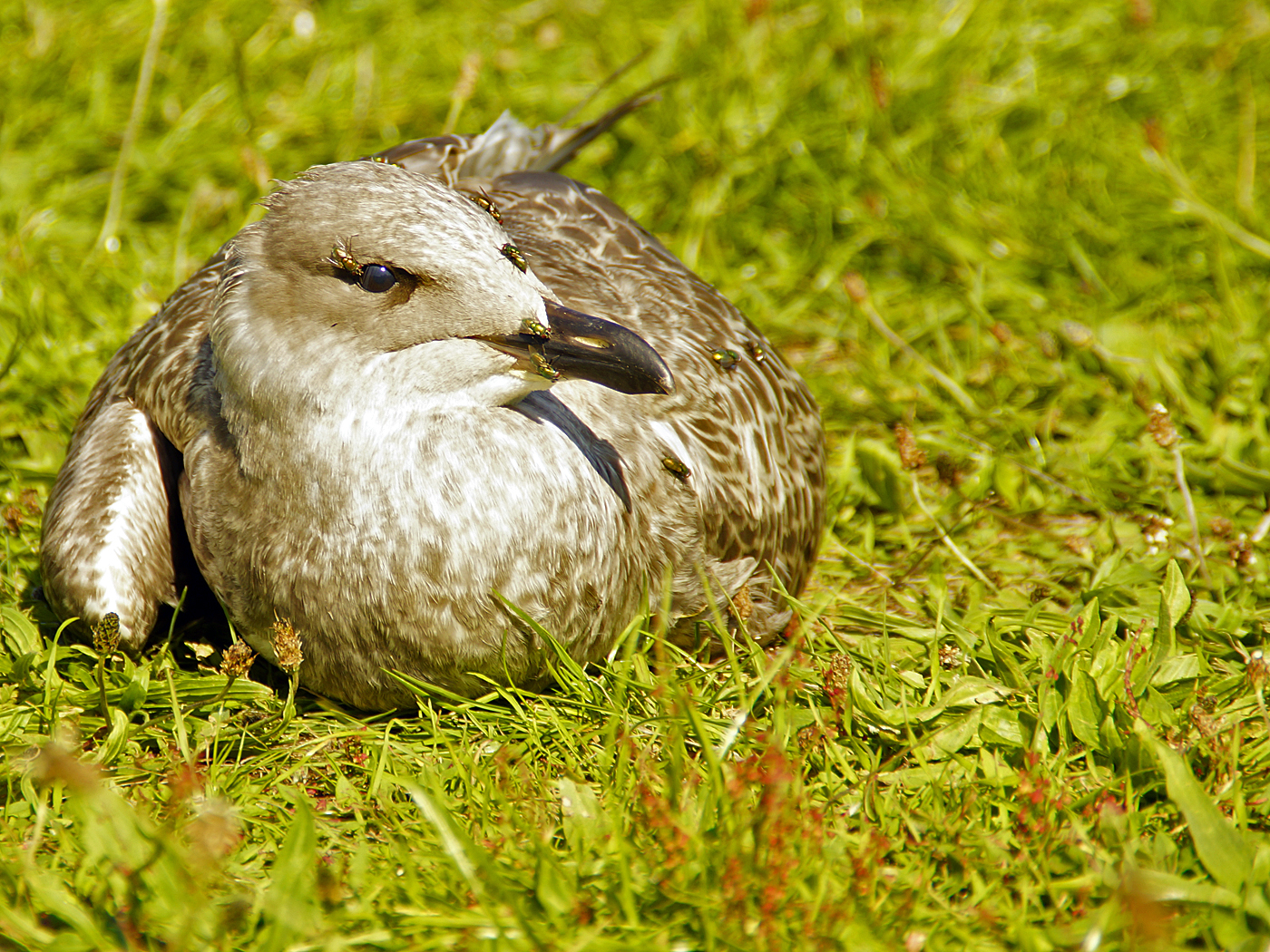 013 Distressed Gull Chick.jpg