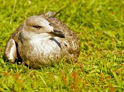 013 Distressed Gull Chick.jpg
