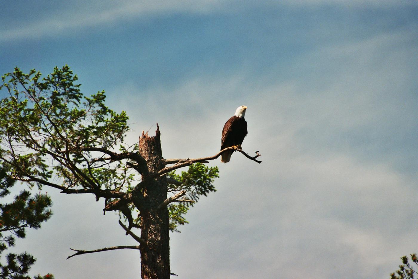 055 Bald Eagle.jpg
