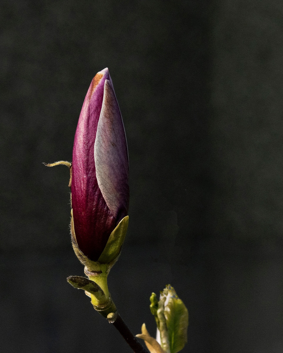 COLOUR - Magnolia Bud by Geraldine Lay (9 marks)