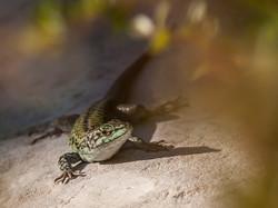 096 Sicilian Tree Lizard.jpg
