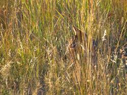 Camouflaged Jackal