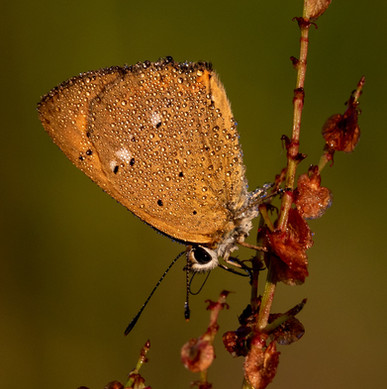 253 - IPF - Scarce Copper by Malcolm McCamley ( 37 marks ) - Commended