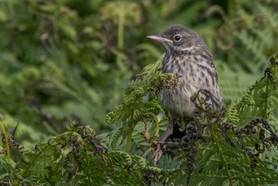 PRINT - Rock Pipit in Ferns by Frances Price