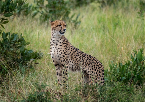 37 - IPF - Cheetah by Christine Taylor  ( 29 marks )