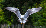 COLOUR - Seagull by David McClements (11 marks)