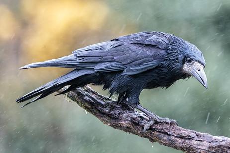 """""""Crow"""" by Hugh Wilkinson"""