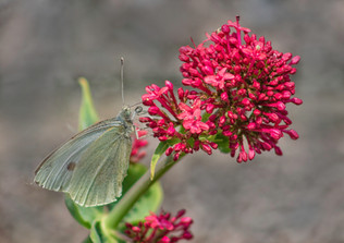 PDI - Large White Butterfly on Pink Flower by Jacqueline Agnew