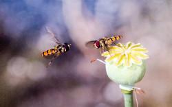 Hover flies-Tom Adams Joint 3rd-.jpg