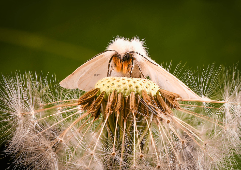 COLOUR - White Ermine Moth by Mark McConnell (12 marks)