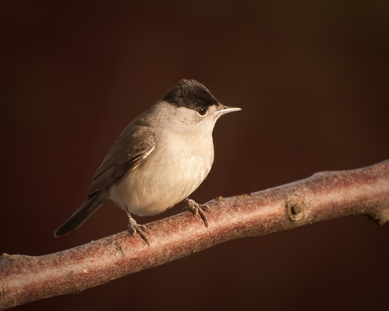085 Male Blackcap.jpg