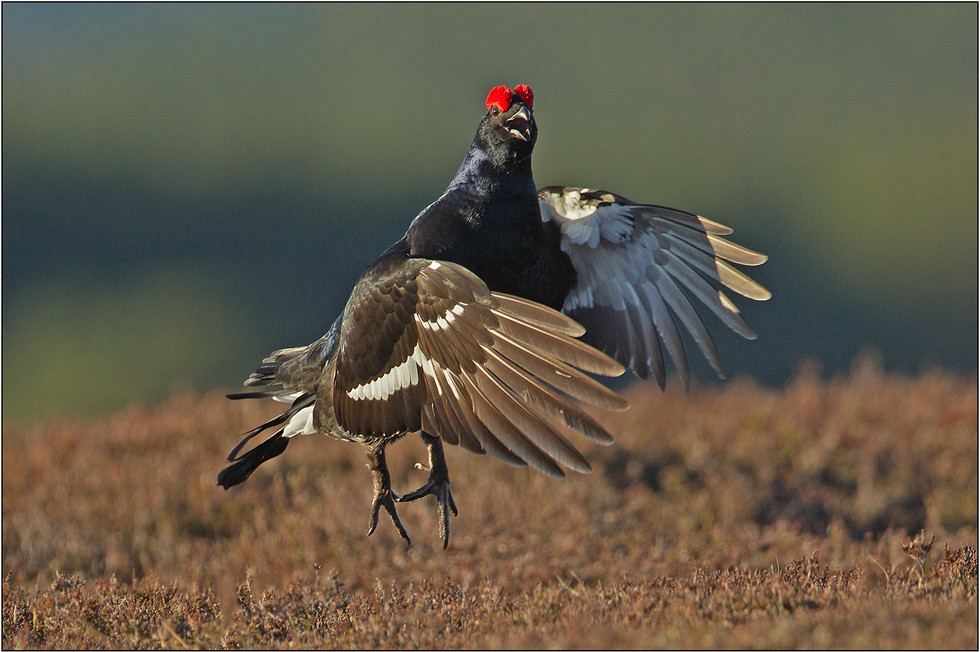 PDI - Black Grouse Displaying by Mike Cruise (19 marks)