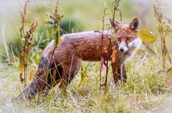 Fox Terry Hanna Joint 3rd.jpg