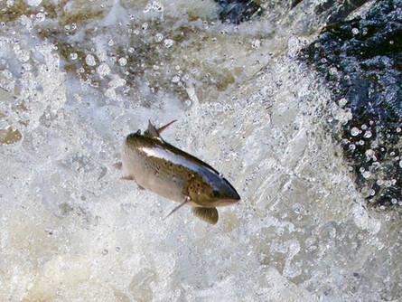 7 - IPF - Atlantic Salmon by Bill Cullen ( 24 marks )