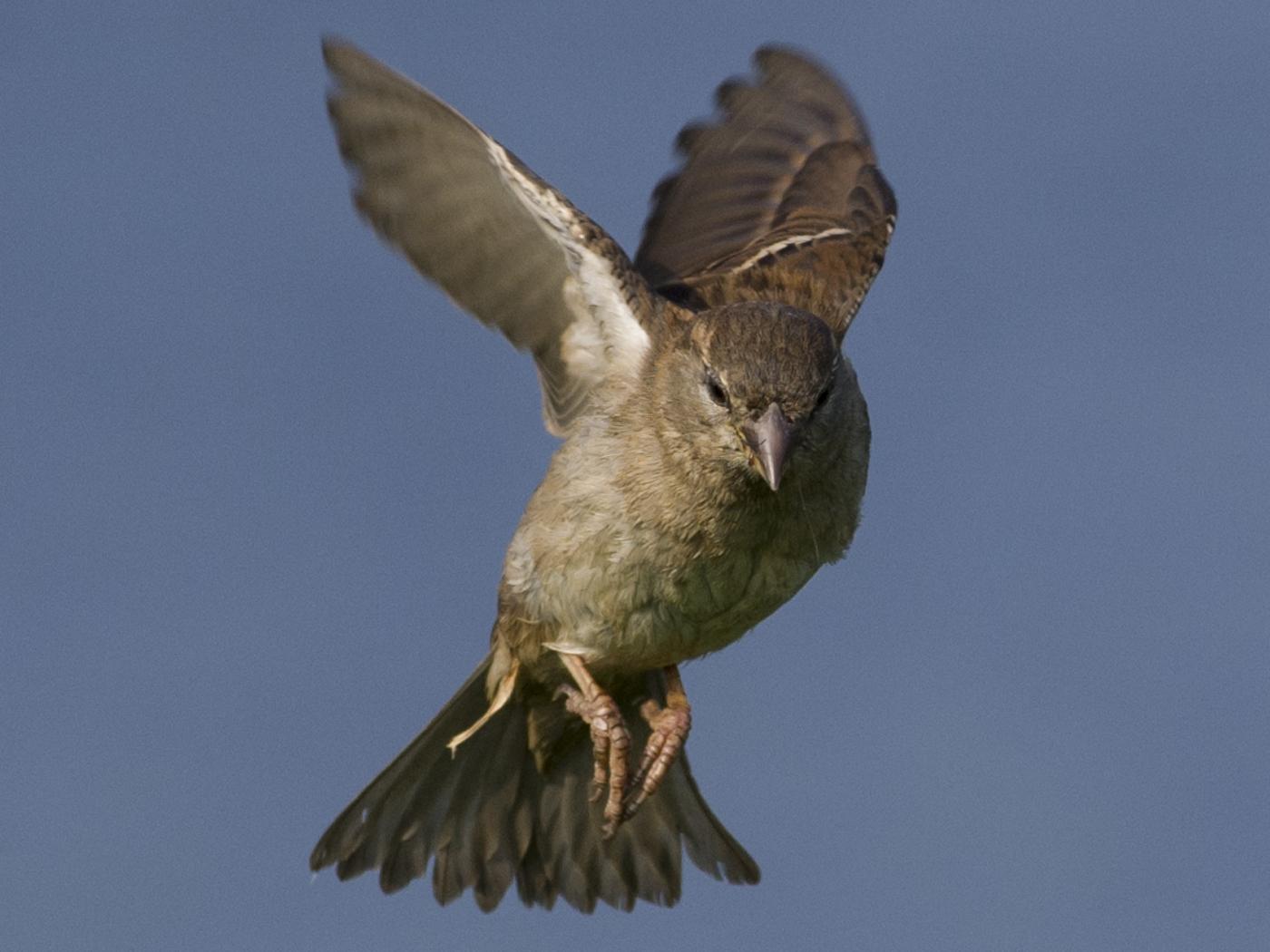 113 Sparrow.jpg