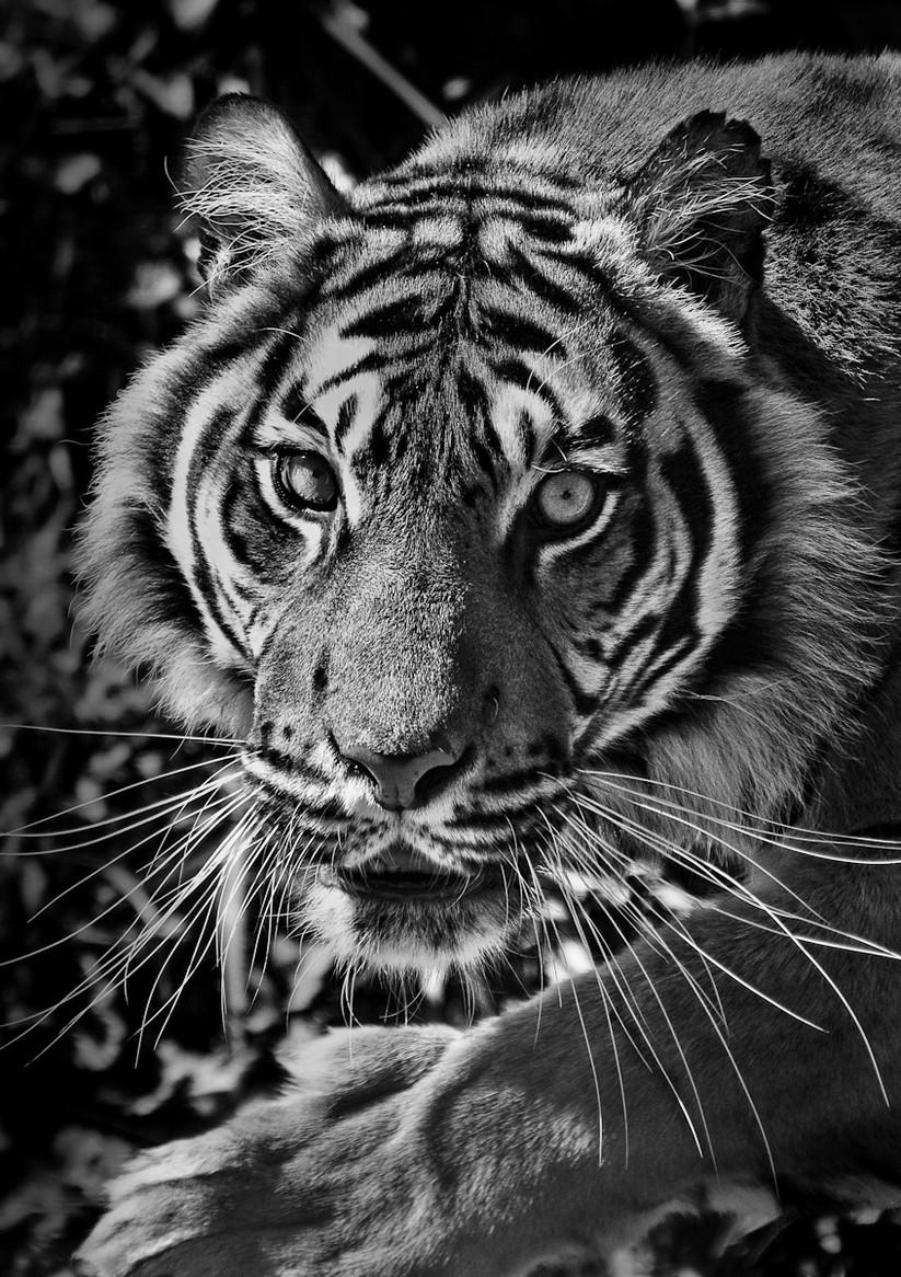 MONO - Eye of the Tiger - Survivor by Fiona Beattie (10 marks)