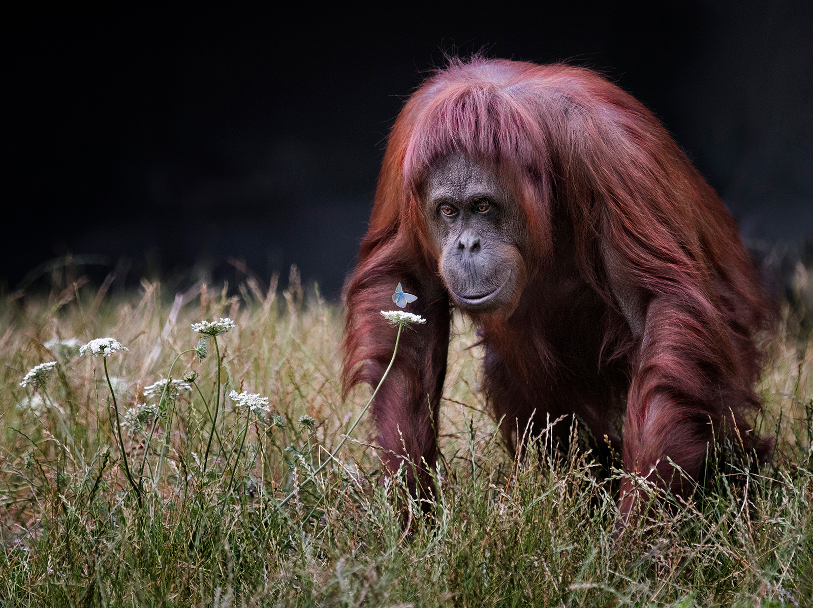 Orang-utan with Butterfly