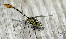 5_Highly Commended_Clubtail_Dragonfly_DavidHyland_NIEPS.jpg