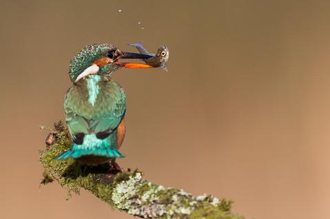 R-NIPA-EX17-PDI-013-Kingfisher With Minnow_Hugh Wilkinson_Catchlight.jpg