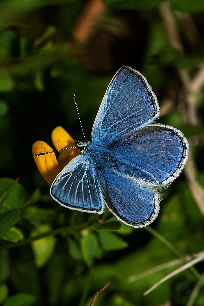 14_1314R2_121_051 C_ACC_2_Common Blue - Sammy Little.jpg