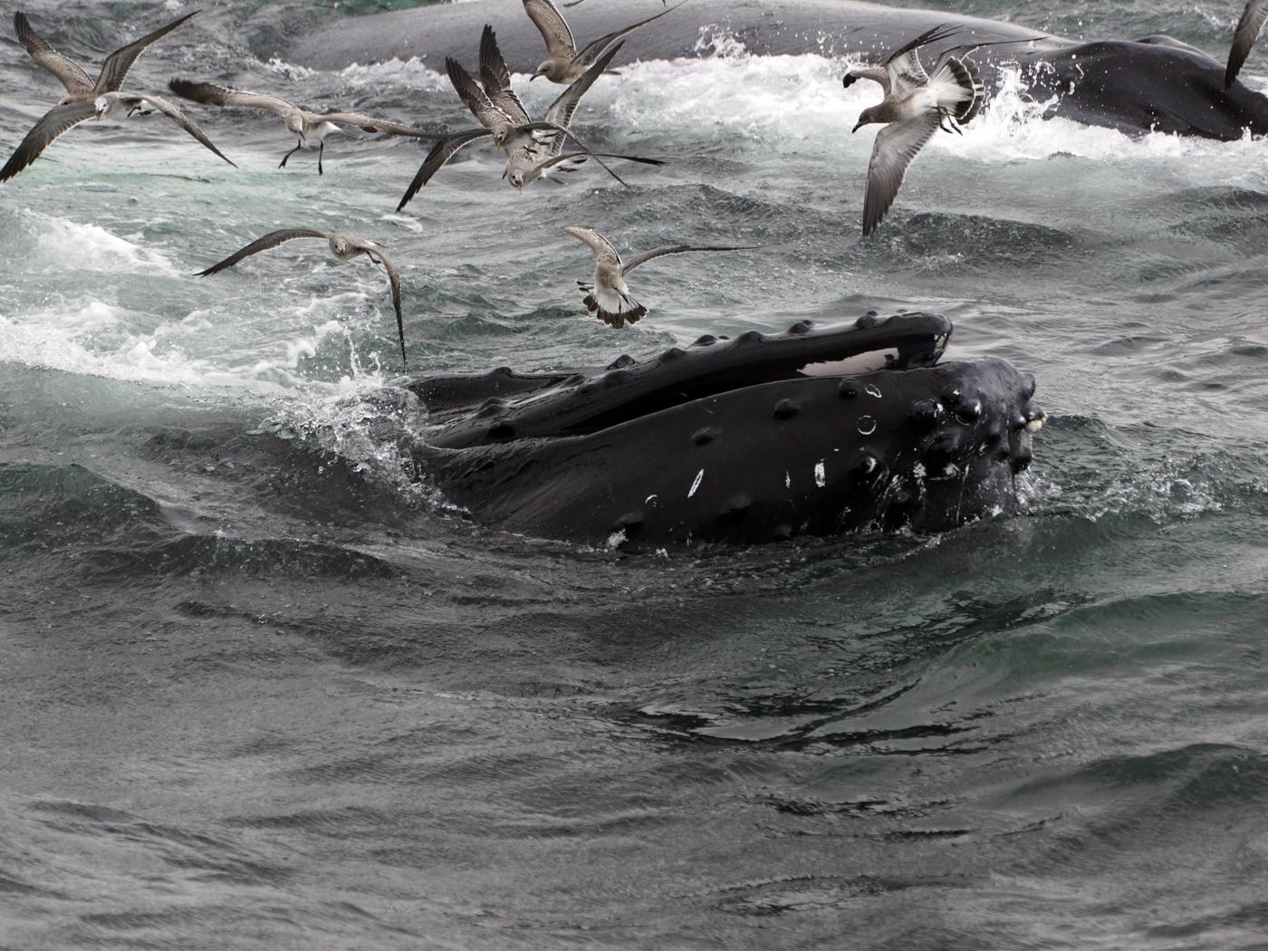 014 Humpback Whales & Storm Petrals.jpg