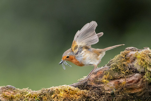 PRINT -  2nd Place - Robin with Catch by Hugh Wilkinson