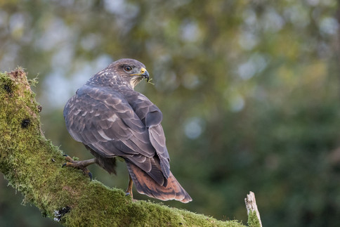 35 - NIPA - Cautious Buzzard by Philip Blair ( 31 marks )