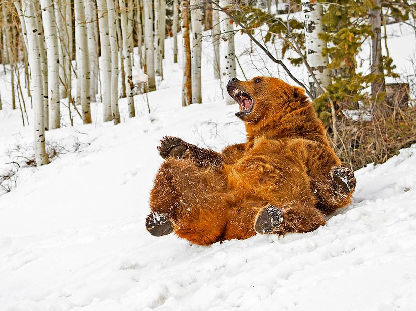 COLOUR - Bear Sliding in Snow by David Edwards (18 marks)