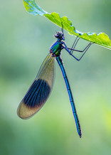 PRINT -  Commended - Banded Demoiselle by Vittorio Silvestri