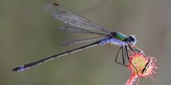 158 Blue Tailed Damselfly on Sundew.jpg