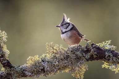 """Crested Tit"" by Hugh Wilkinson"