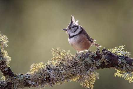 """""""Crested Tit"""" by Hugh Wilkinson"""