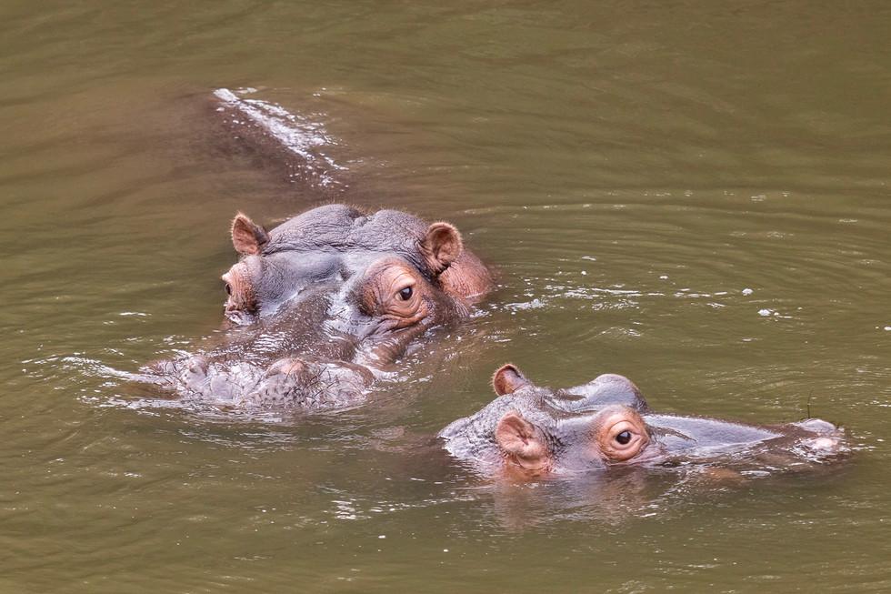 COLOUR - Hippos by Colin Paul (9 marks)