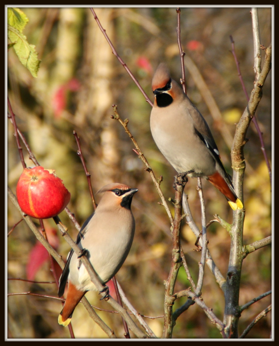 Waxwings in Whitehead
