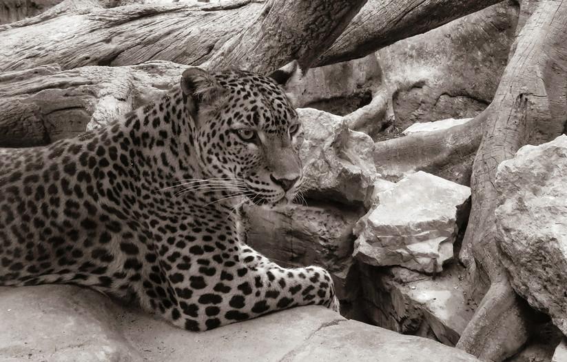MONO - The Leopard - Giuseppe Tomasi di Lampedusa by Jennifer James (10.5 marks)