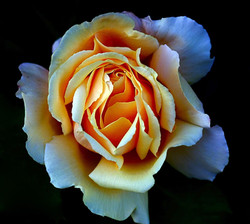 13_1314R2_122_028 B_CKPS_2_Rose_Albert Houston.jpg