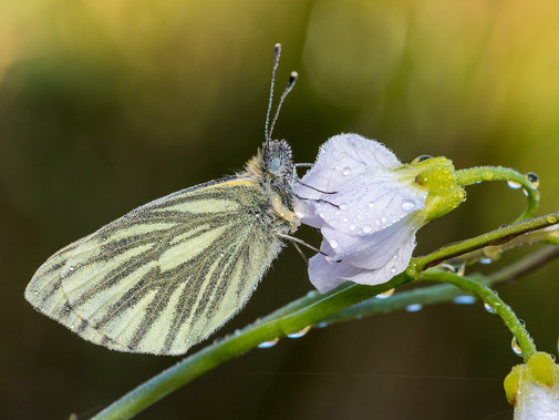 5_Commended_Green_Viened_White_Butterfly_Ted_McKee_Ards.jpg