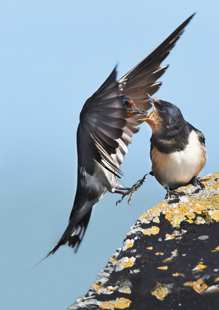 13 - IPF - Barn swallows by Mary Twomey ( 32 marks )