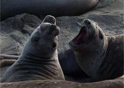Squabbling Seals