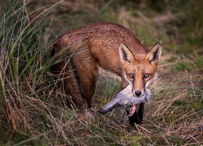 COLOUR - Fox with Quarry by Hugh Wilkinson (18 marks)