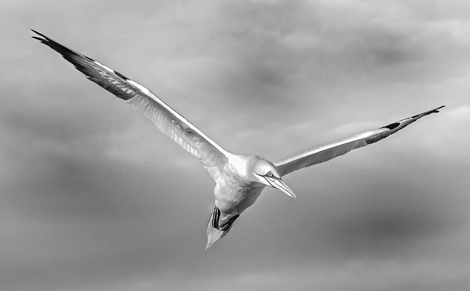MONO - Gannet by Terry Hanna (9 marks)